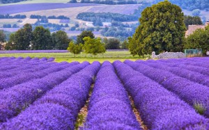 The world's most colourful landscapes lavendar-provence_3210619k